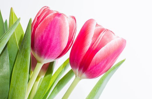 Tulips, Pair, Spring, Pink, Flamed, Flower, Blossom
