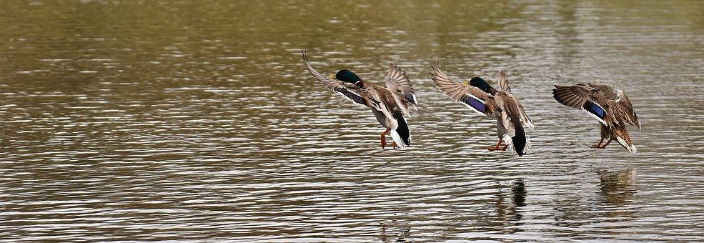 Ducks, Swarm, Landing, Water, Waterfowl, Poultry, Funny