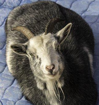 Goat, Farm Animal, Animal, Farm, Livestock, Pet