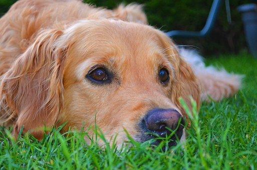 Golden Retriever, Dog, Grass, Hundeportrait, Pet