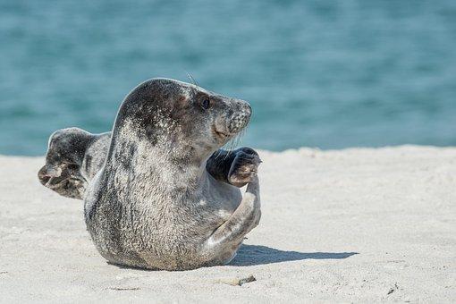 Grey Seal, Halichoerus Grypus, Helgoland, Dune, Beach