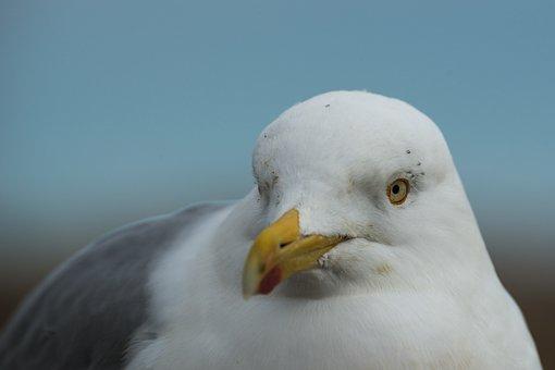Herring Gull, Larus Argentatus, Portrait, Head Eyes