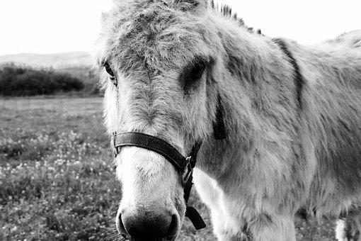 Donkey, Animal, Black White, Portrait, Head, Nature