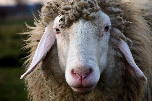 Sheep, Head, Sheepshead, Animal, Wool, Nature, Fur