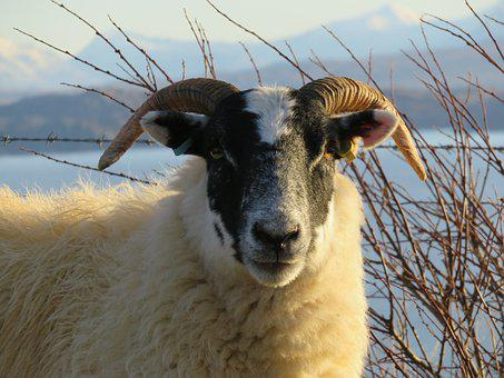 Sheep, Scotland, Isle Of Skye, Horn, Ram