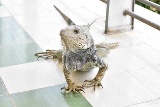 Iguana, Fauna, Colombia, Animal, Reptile, Nature