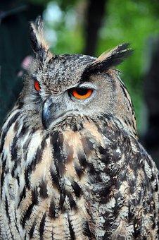 Eagle Owl, Raptors, Owls, Raptor