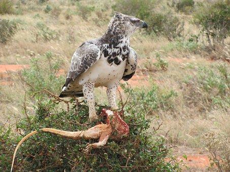 Raptor, Adler, Africa, Martial Eagle, Prey, Hunter