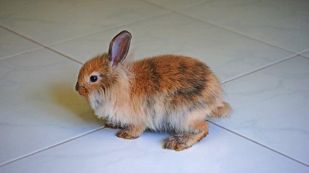 Rabbit, Brown Rabbit, Pet, Animal, Cute, Bunny