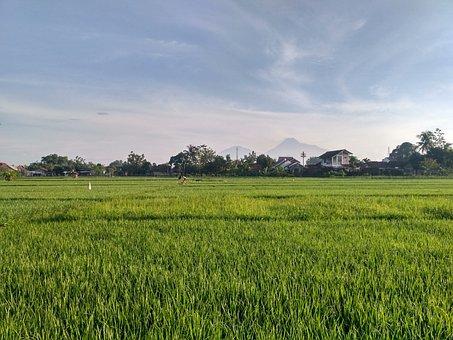 Paddy, Ricefield, Field, Jogja, Nogotirto, Yogyakarta