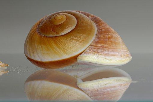 Sea Snail, Shell, Snail, Housing, Seashell, Decorative