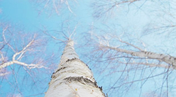 Birch, Winter, White, Sky, Twig, Nature