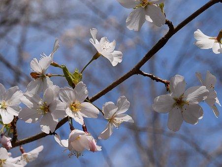 Cherry Blossoms, Delicate, Wild Cherry, Cherry, Tree