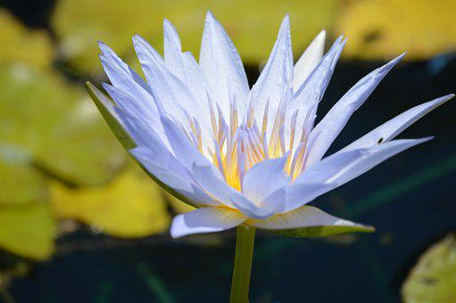 Lily, Water, Blue, Water Lily, Nature, Pond, Flower