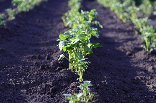 Field, Potato, Harvest, Landing, Agriculture, Plant