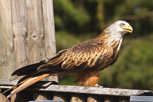 Bird Of Prey, Griffin, Bird, Raptor, Animals, Birds