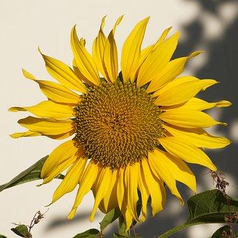 Sun Flower, Yellow, Late Summer, Flower, Blossom, Bloom