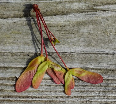 Maple Seeds, Maple Seed, Colorful, Maple Tree, Acer