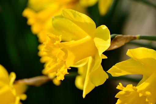 Daffodils, Osterglocken, Yellow