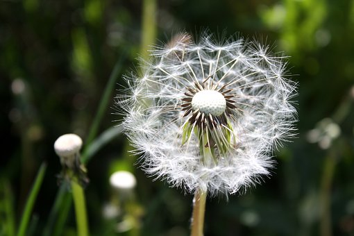 Dandelion, Plant, Close, Pointed Flower, Flying Seeds