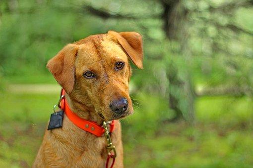 Dog, Labrador, Retriever, Puppy, Cute, Domestic, Golden