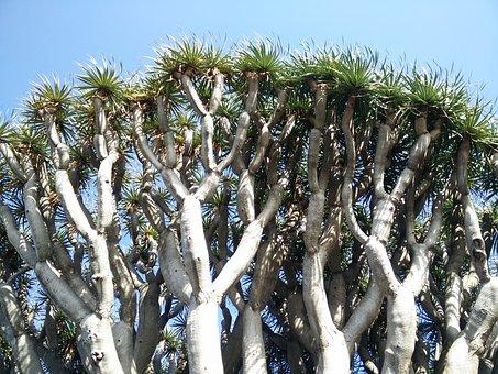 Dragon Tree, Canary Island Dragon Tree, Dracaena Draco