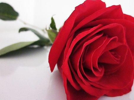 Rose, Red, Flower, Love, Romance, Nature, Valentine