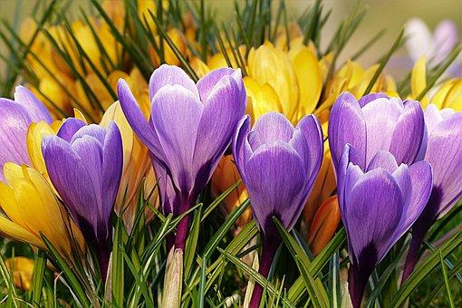 Flower, Crocus, Violet, Yellow, Spring