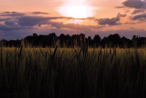 Field, Grain, Sunset, Cereals, Agriculture, Wheat, Sky