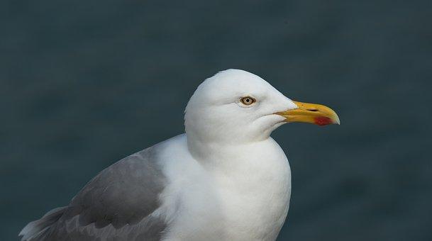 Herring Gull, Gulls, Larus Argentatus, Large Gull
