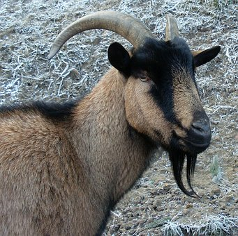 Billy Goat, Heraldic Animal, Prima Donna, Animal, Horns