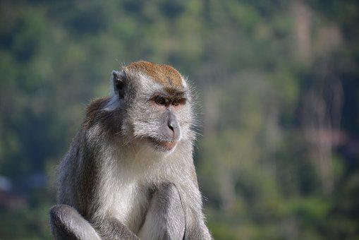 Macaque, Monkey, Animal, Mammal, Nature, Humps, Zoo