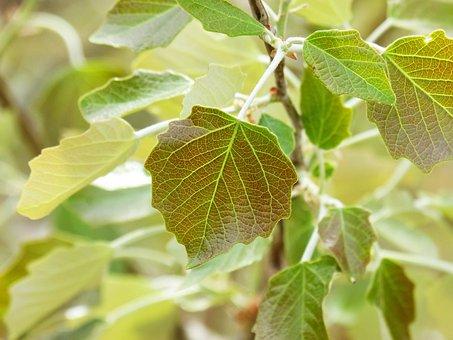 Poplar, Outbreak, Leaf, Sheet Tender, Sprout, Spring
