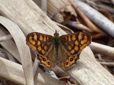 Pararge Aegeria, Orange Butterfly, Bruna Del Bosc