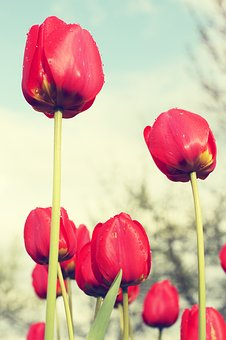 Red Tulips, Field, Flowers, Sad, Feelings, Red, Plant