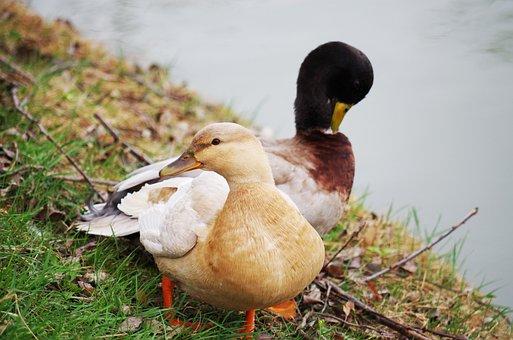 Duck, Wild, Bird, Water, Lake, Nature, Wild Ducks, Pond