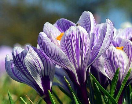 Crocus, Blossom, Bloom, Spring, Flower, Purple