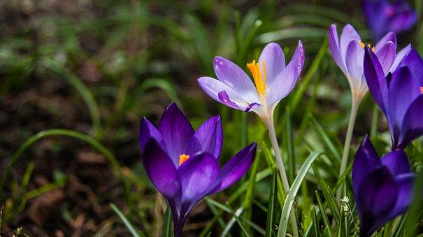 Flower, Crocus, Spring, Flowers, Nature, Purple