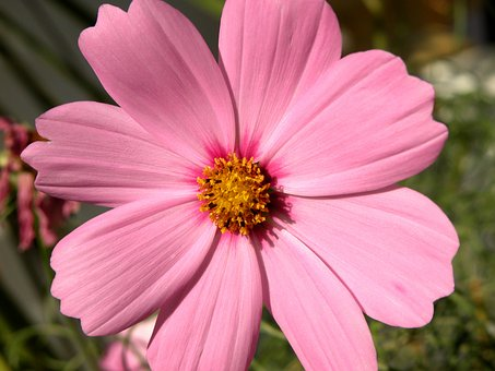 Cosmos Flower, Flower, Pink, Nature, Spring, Floral