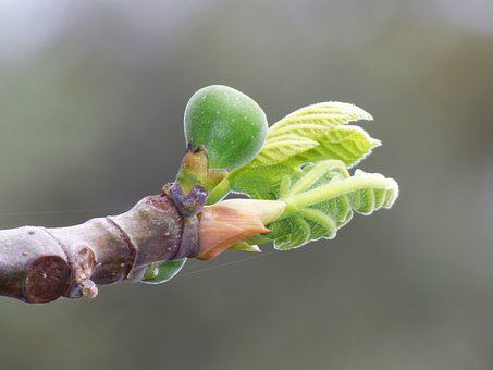 Fig Tree, Outbreak, Sprout, Spring, Fig, Tender Leaves