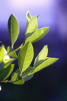 Leaves, Plant, Sheet, Nature, Green, Summer, Bush