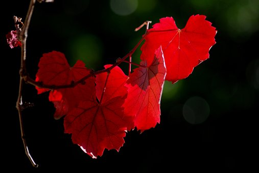 Vine Leaf, Vineyard, Winery, Agriculture, Leaf