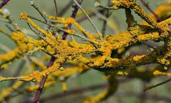 Yellow Lichen, Weave, Laubflechte, Bush, Brush Braid