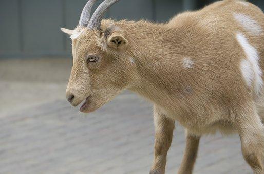 Agriculture, Animal, Cattle, Cow, Cute, Farm, Fur, Goat