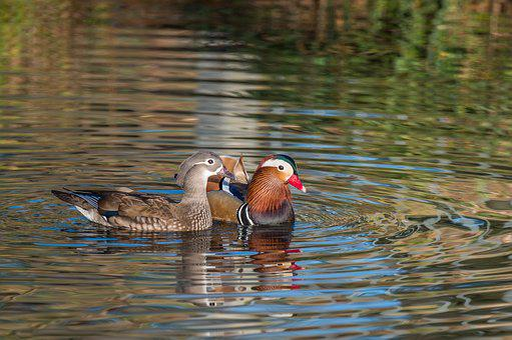 Mandarin Ducks, Aix Galericulata, Pair, Couple, Drake