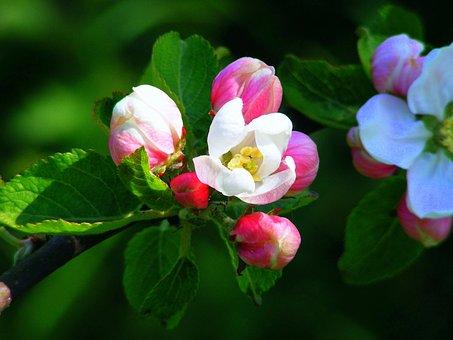 Apple Blossom, Pink, Red, Blossom, Bloom, Spring, Tree