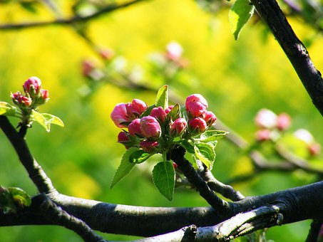 Apple Blossom, Old Country, York, Stade, Blossom, Bloom