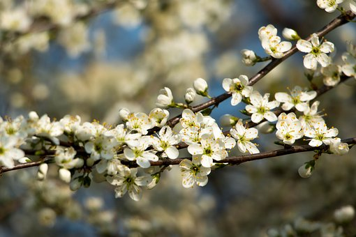 Flowering Shrub, White, Blossom, Bloom, Spring, Nature