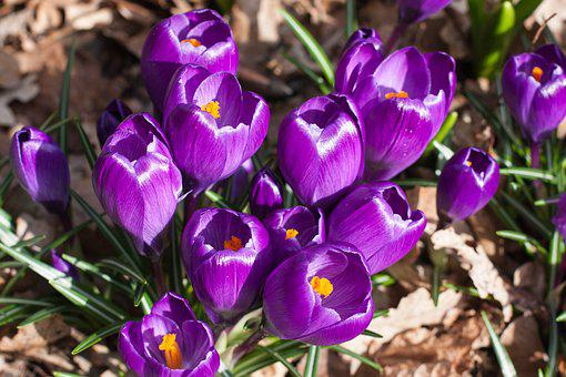 Crocus, Blossom, Bloom, Purple Flower, Plant, Spring