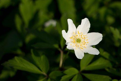 Wood Anemone, White, Spring, Blossom, Bloom, Macro